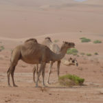 The desert camels (they SCARE me)