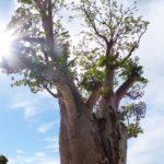 A boab tree in Kings Park & Western Australian Botanic Garden
