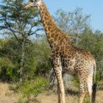 An elegant giraffe