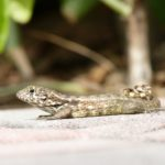 The Curly Tailed or Lion Lizard