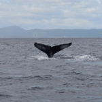 The most iconic photo I took: the tail of a diving humpback whale on the St Lawrence River. Awesome
