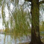 A weeping willow on Boston Common