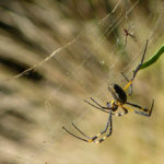 A female Golden Orb-Web spider about to lunch on her husband!