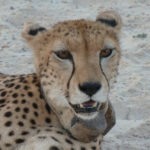 A cheetah (wearing a tracking device) posing for an extreme close-up
