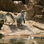 Magellanic Penguins (Spheniscus Magellanicus); Taken with Leica R9/DMR - Vario-Elmar-R 80-200mm f/4