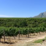 The vineyard at Rust en Vrede