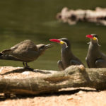 Inca Terns (larosterna Inca); Taken with Leica R9/DMR - Vario-Elmar-R 80-200mm f/4