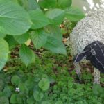 I spotted this lost sheep hiding in the stunning gardens of Le Quartier Francais in Franschhoek.