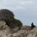 An Australian sea lion guards an osprey nest.