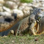 The Blue Iguana or Grand Cayman Iguana is an endangered species.