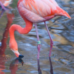 An American Flamingo (Phoenicoparrus Ruber); Taken with Leica R9/DMR - Apo-Telyt-R 280mm f/2.8