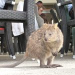 "A quokka – marsupial once mistaken for a ""large rat"" (Rott = rat)"