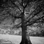 Old Tree; Taken with Leica M9, Wide-Angle Tri-Elmar by David English