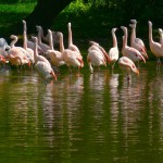 A flock of Chilean Flamingos (Phoenicoparrus Chilensis); Taken with Leica R9/DMR - Apo-Telyt-R 280mm f/2.8 + Apo-Extender 1.4X