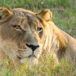 A dozing lioness