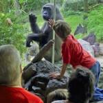 The Lowland Gorilla (Gorilla Gorilla Gorilla); Taken with Leica R9/DMR - Vario-Elmar-R 21-35mm f/3.5