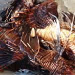 The lionfish is a pest, but a rather tasty one.