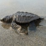 A baby Olive Ridley turtle heading for the Sea at Nuevo Vallarta