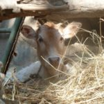 A calf stays warm in straw and watches the world go by