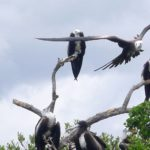 Barbuda features one of the most amazing sites on Earth - the Frigate Bird Colony.