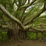 Pipiwai Trail Tree