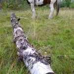 In an effort to keep heavy machines out of the forests, thereby keeping their destruction to a minimum, loggers still use horses to move tree trunks. This horse can move up to 300 trees a day!