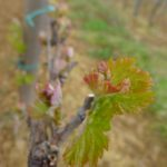In one of Hungary's most famous wine-growing regions - Villany - a vine is at the early stages of growth.