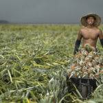 A young man pushes a cart full of pineapples across a recently harvested pineapple plantation © Justin Guariglia