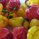 Red & yellow peppers that help make up the Caribbean's top condiment - Susie's Hot Sauce.