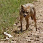 A jackal bears his teeth